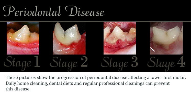 Periodontal Disease - Gum Disease in Cats