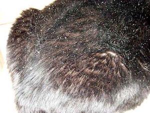 cat food for dandruff